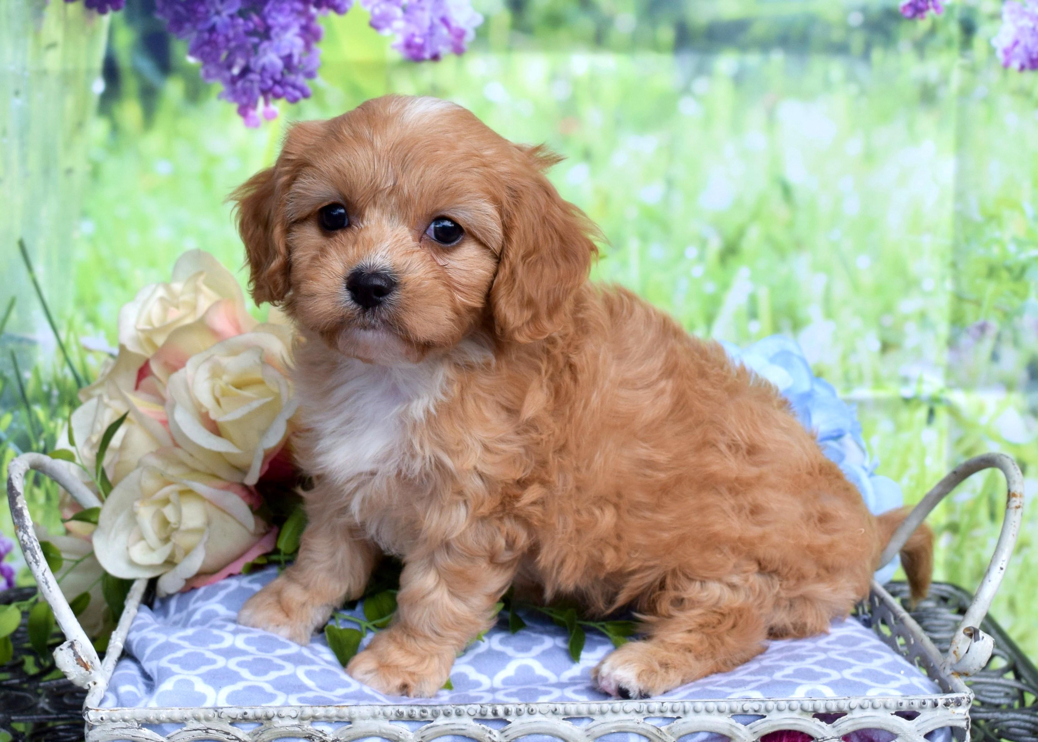 Cavapoo Puppy Penny