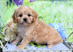 Cavapoo Puppy Amber