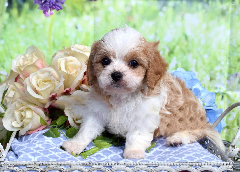 Cavapoo Puppy Keegan