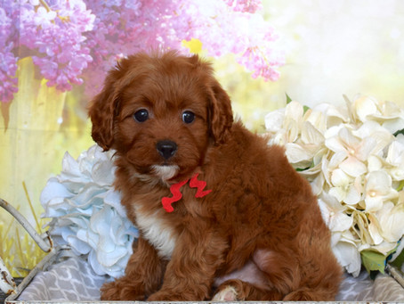 Red Cavapoo Puppies