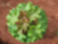 Jatropha6.jpg