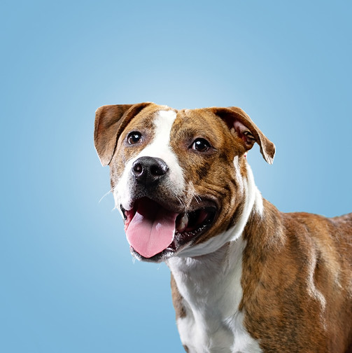 Pit bull closeup on blue background pet photography by bmariephotography