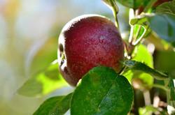 H0101 Apfelernte.jpg