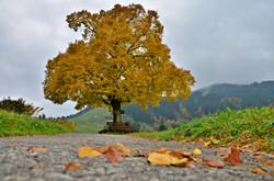 H0109 Herbstlaub an der Linde Pfronten-Halden.jpg