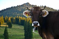 A0073_Alpschönheit_auf_Alpe_Bärenmoos_Pfronten.jpg