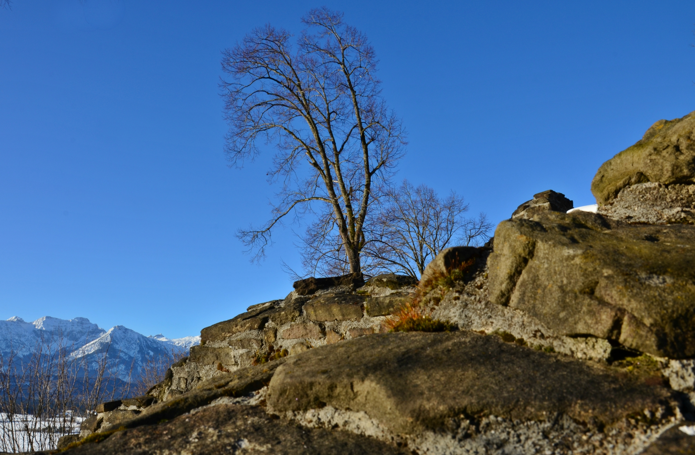 B0042 Ruine Hopfensee Baum