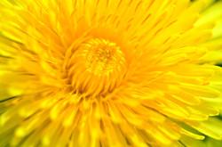 M0047 Löwenzahnblüte