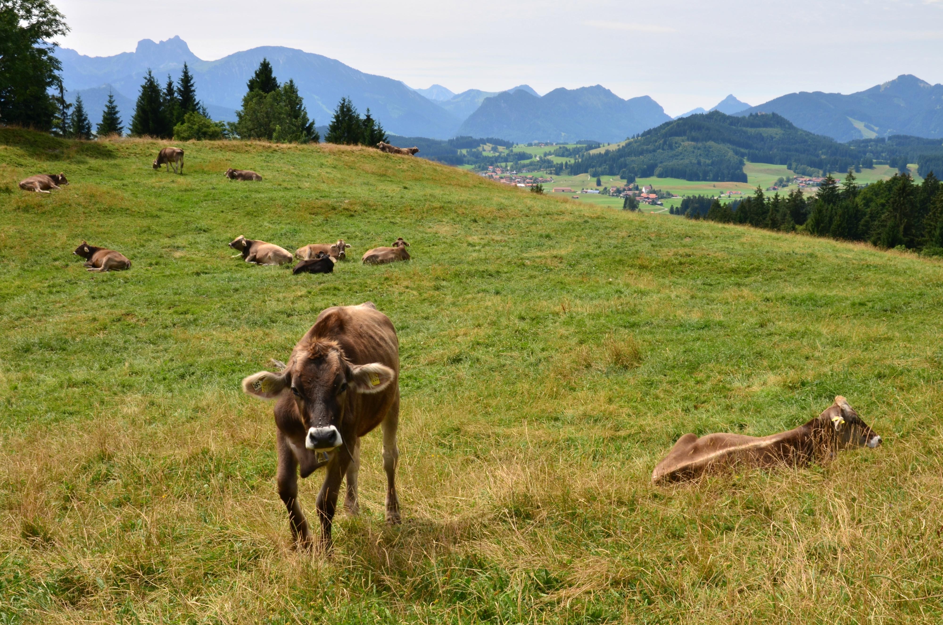 A0045_Alpe_Bichelstein_Blick_Pfrontener_Berge_und_Kühe.jpg