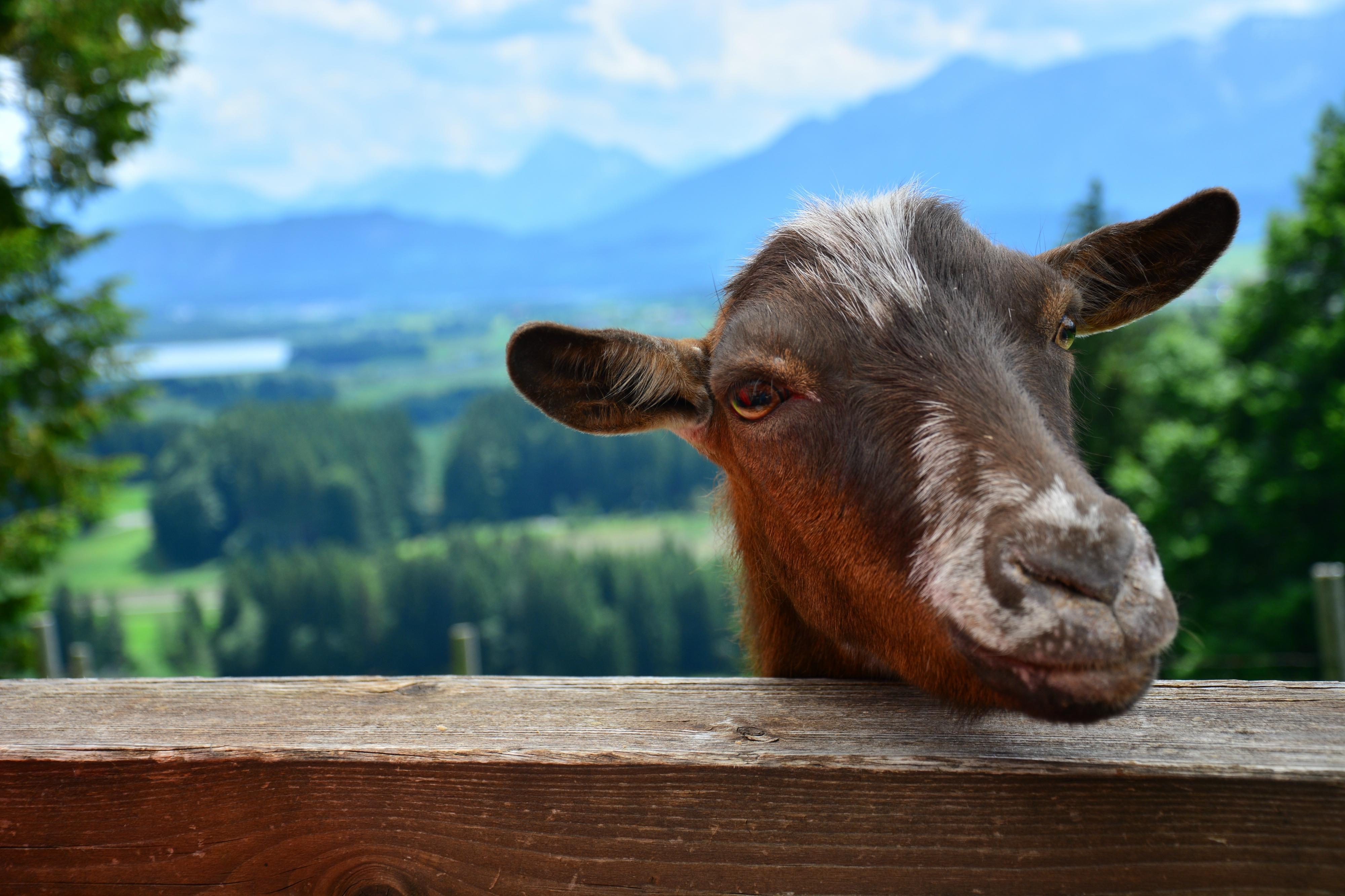 T0039 Ziege auf dem Beichelstein Seeg.jpg