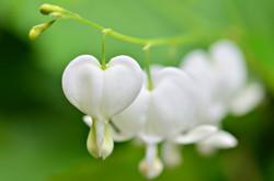 M0088_weiße_Herzen