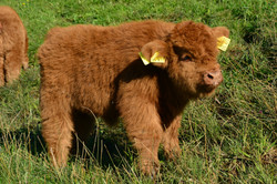 T0007 kleine Kuh.jpg