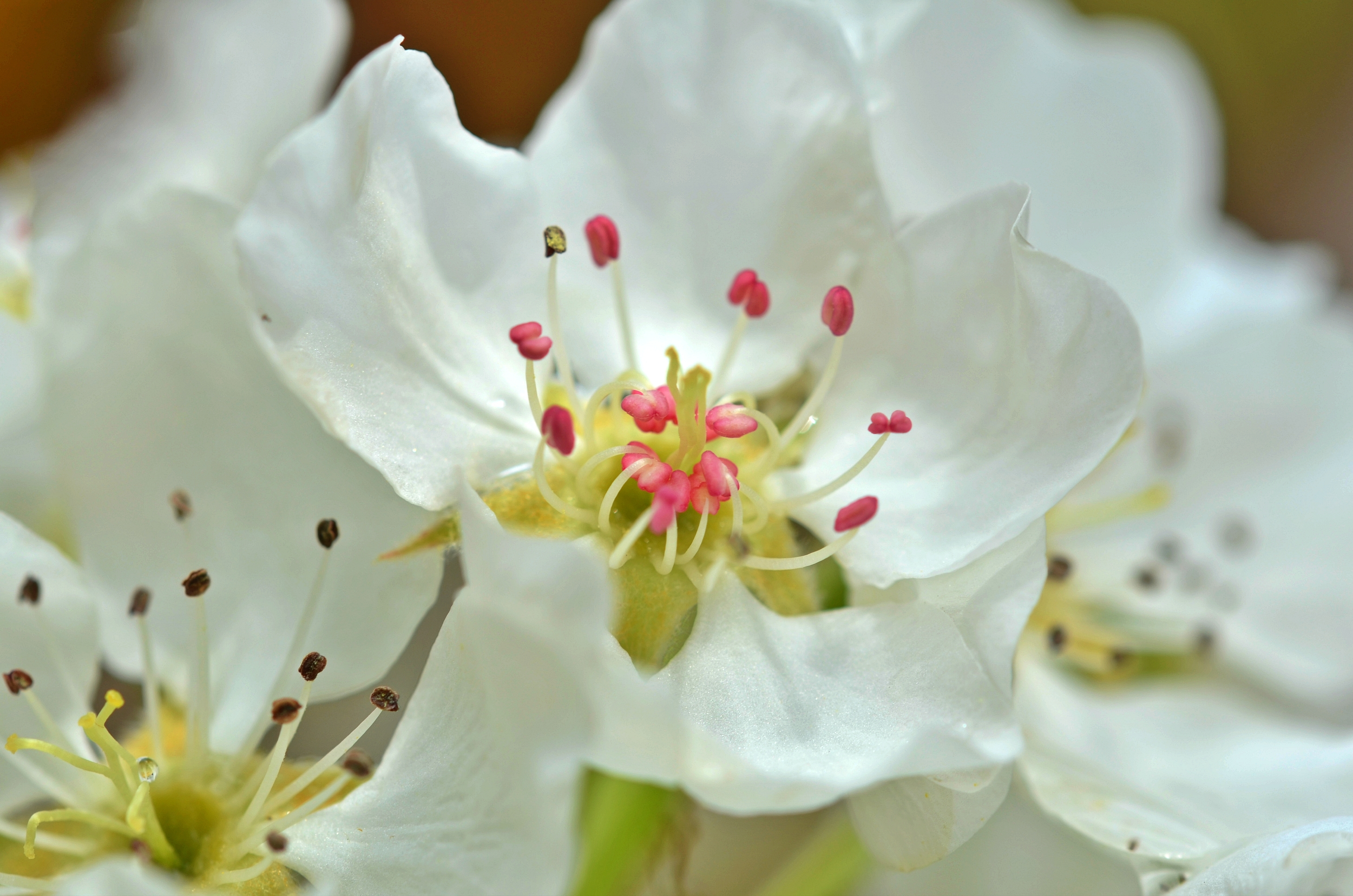 M0005 Birnenblüten