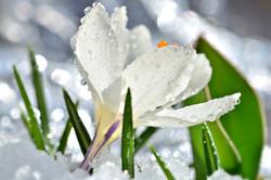 M0072 Weißer Winterkrokus