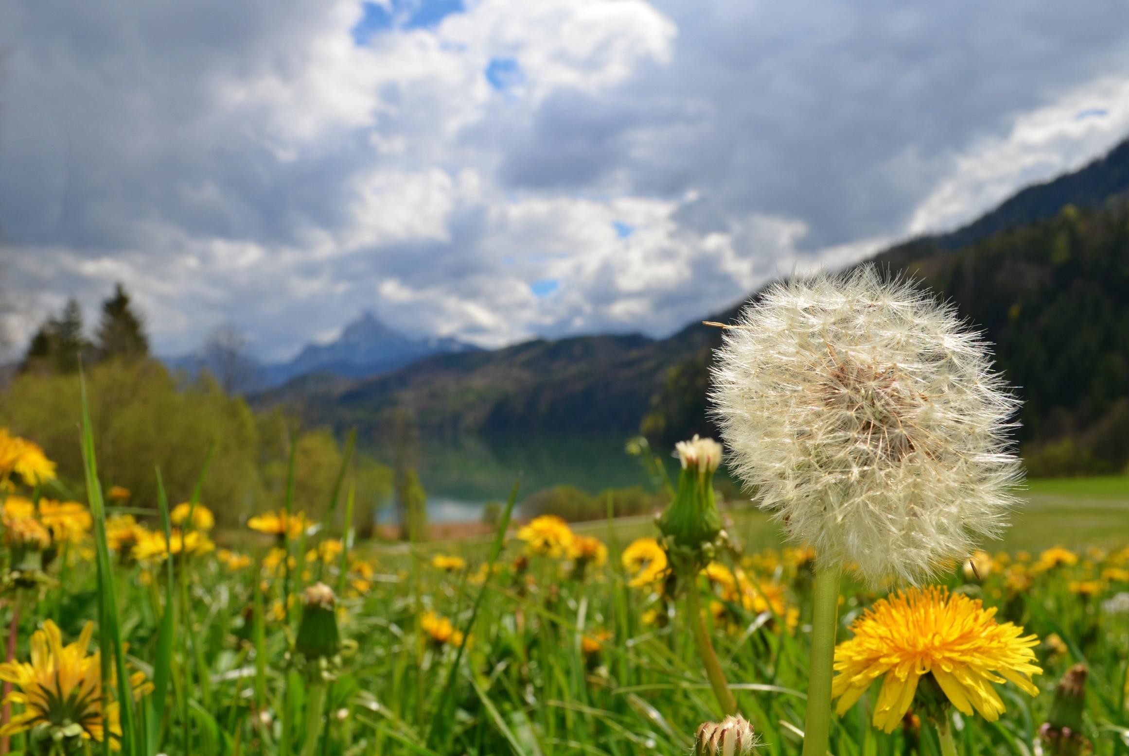 F0018 Pusteblume überm Weissensee