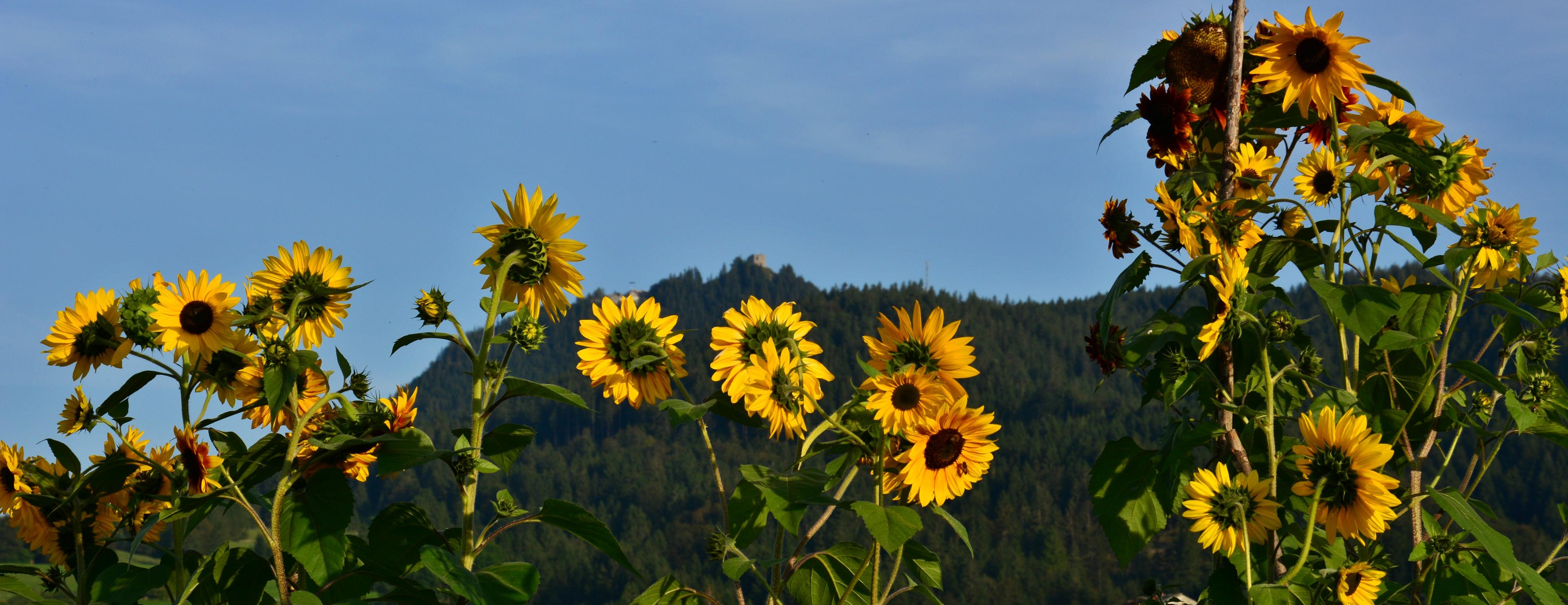H0161 Sonnenblumenpracht unterm Falkenstein-Pfronten.jpg