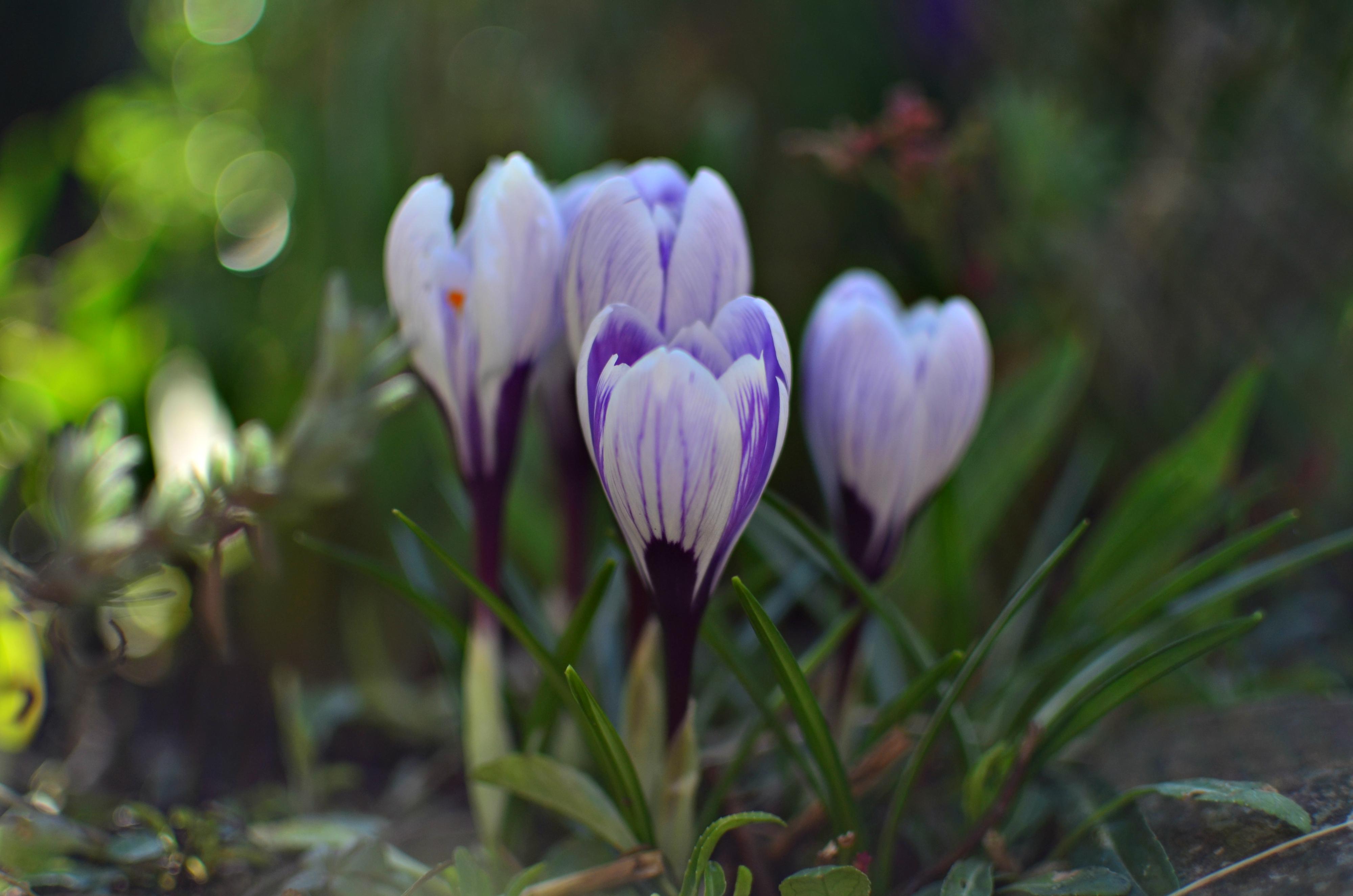 M0075 Krokuse im Frühlingslicht