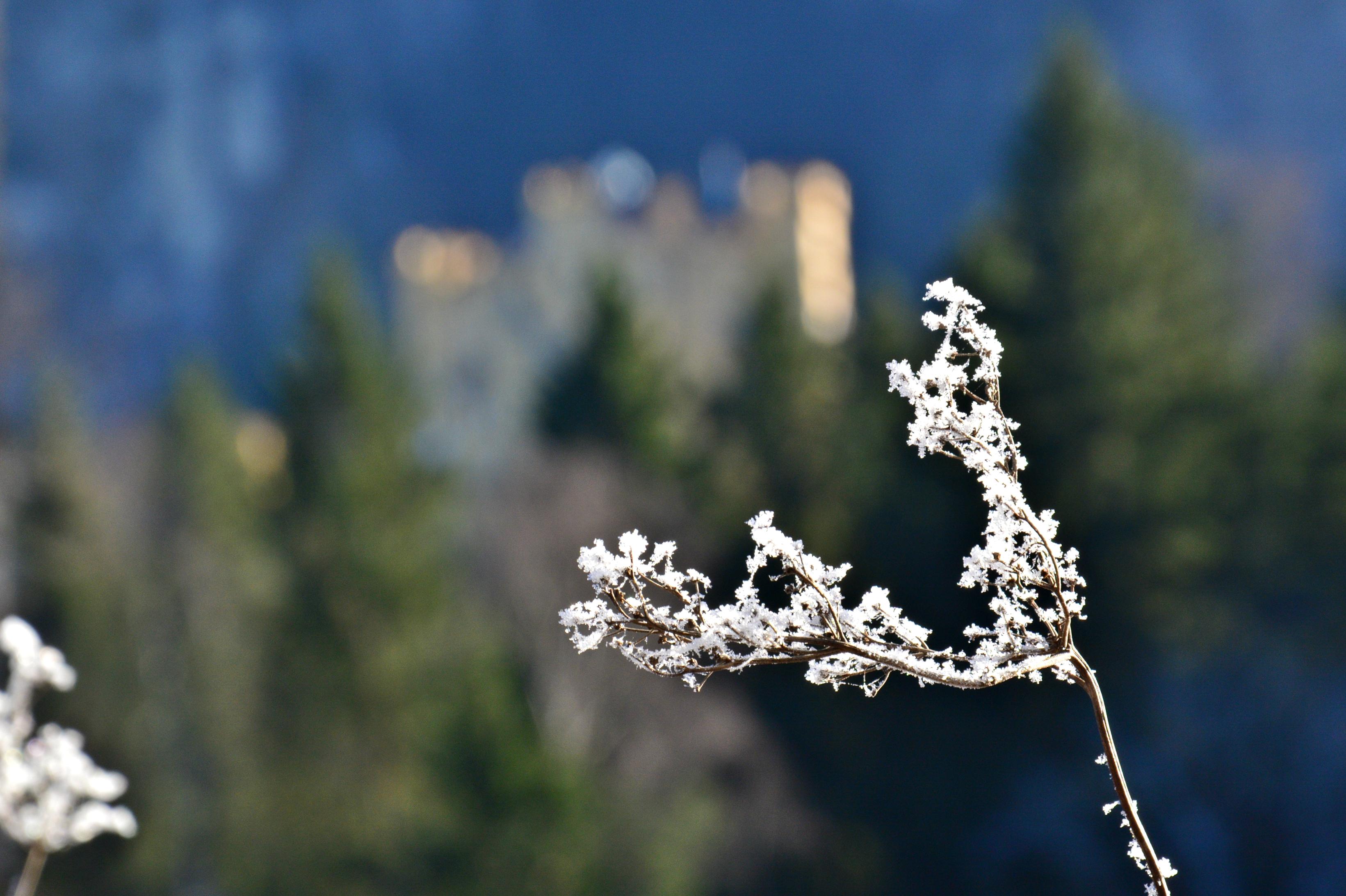 B0118 Frostblumen Schloss Hohenschwangau.jpg