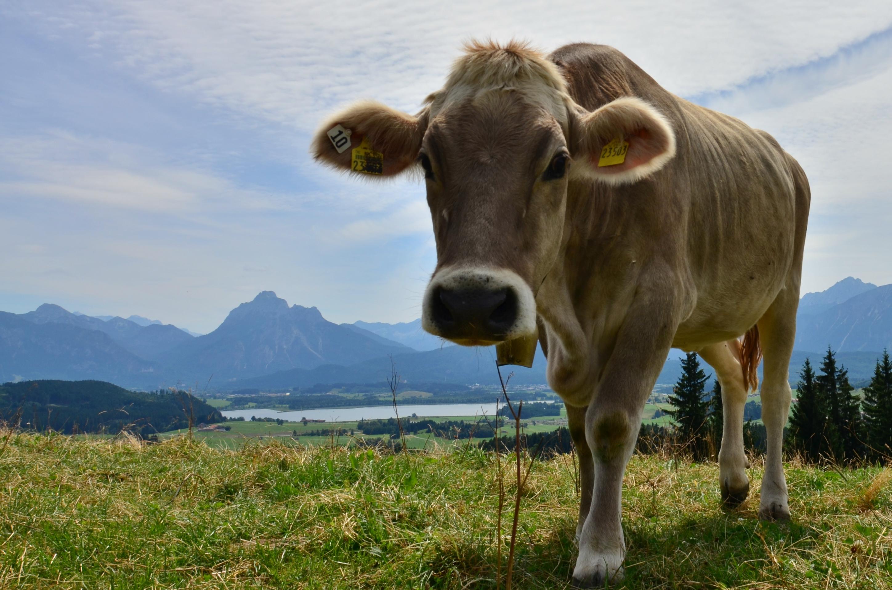 A0077 Alpe Beichelstein Kuh mit Blick auf Hopfensee.jpg