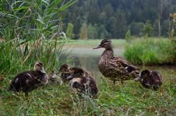 S0027 Entenfamilie am Schwansee.jpg