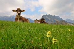 F0038 Kuhgrüße ausPfronten-Meilingen