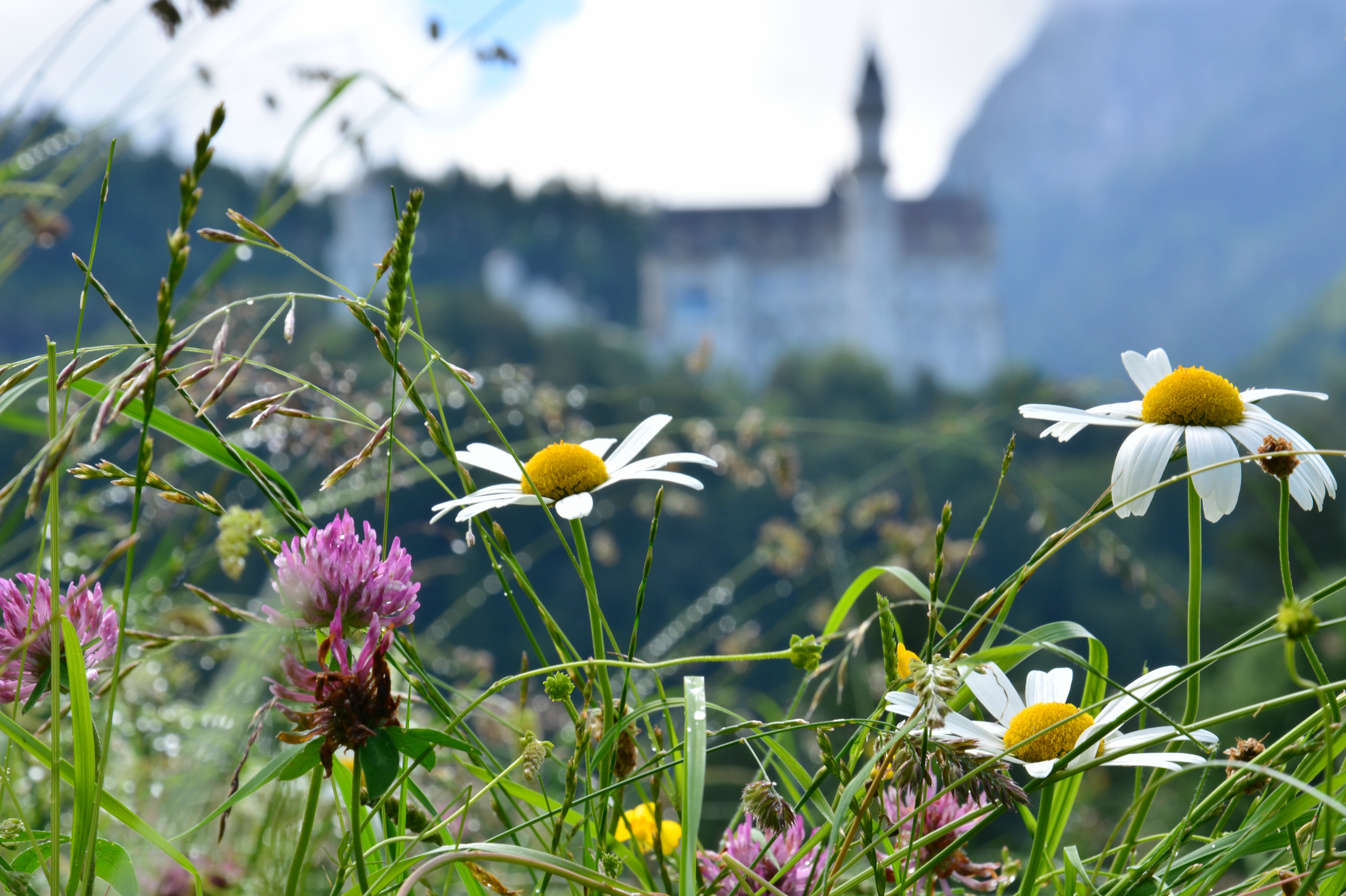 S0057 Blumenwiese vor Schloss Neuschwanstein.jpg