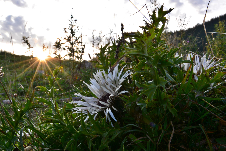 A0213 Silberdistel im Sonnenschein.jpg
