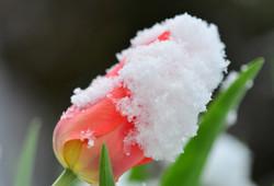 M0003 Tulpe in Schneemantel