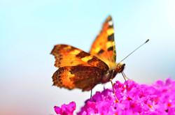 M0011 Schmetterling
