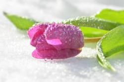 M0070 Tulpe im Schnee mit Wassertropfen