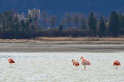 G0238 Flamingos Forggensee Schloss Hohenschwangau