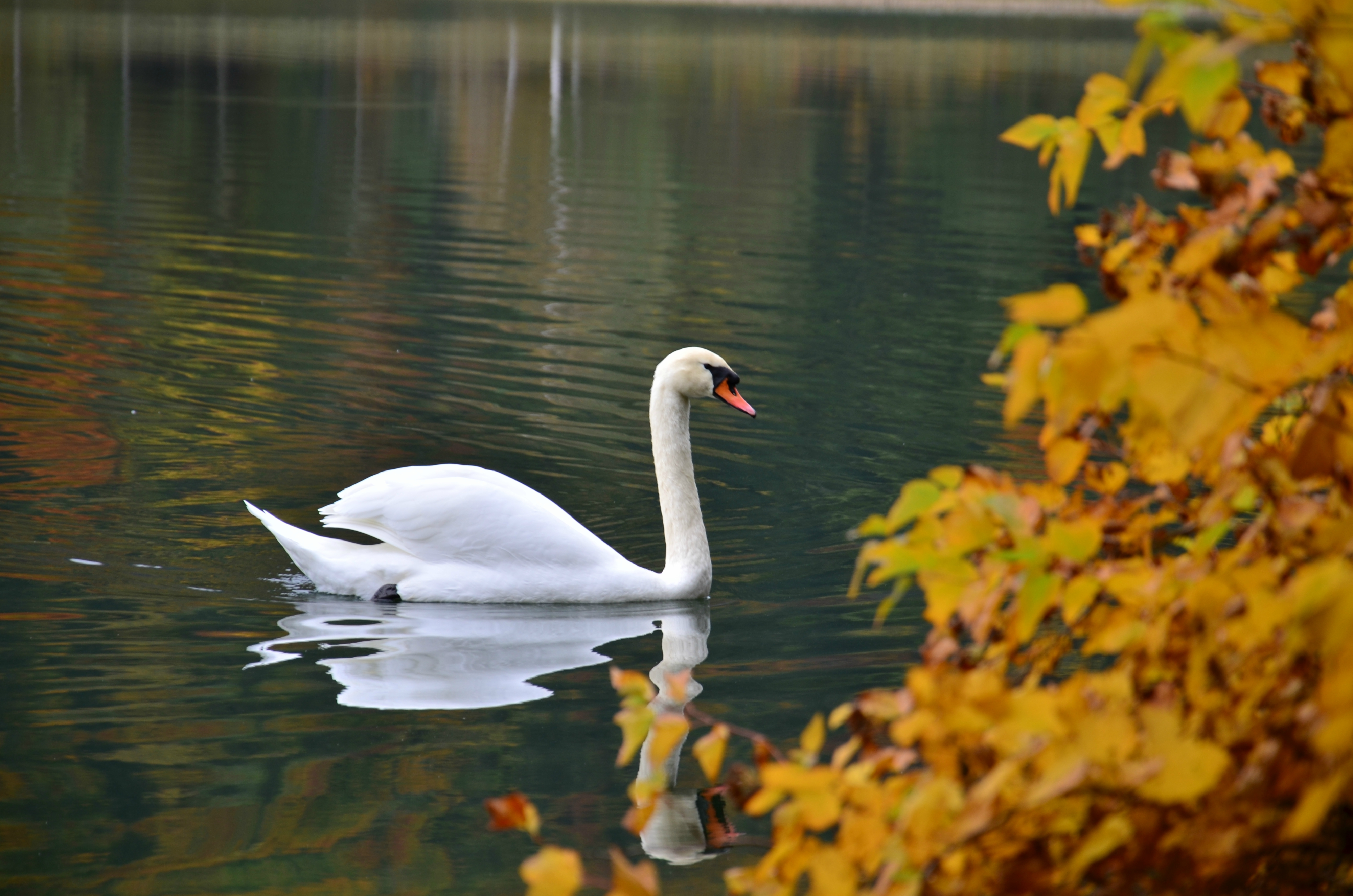 G0210 Herbstschwan.jpg