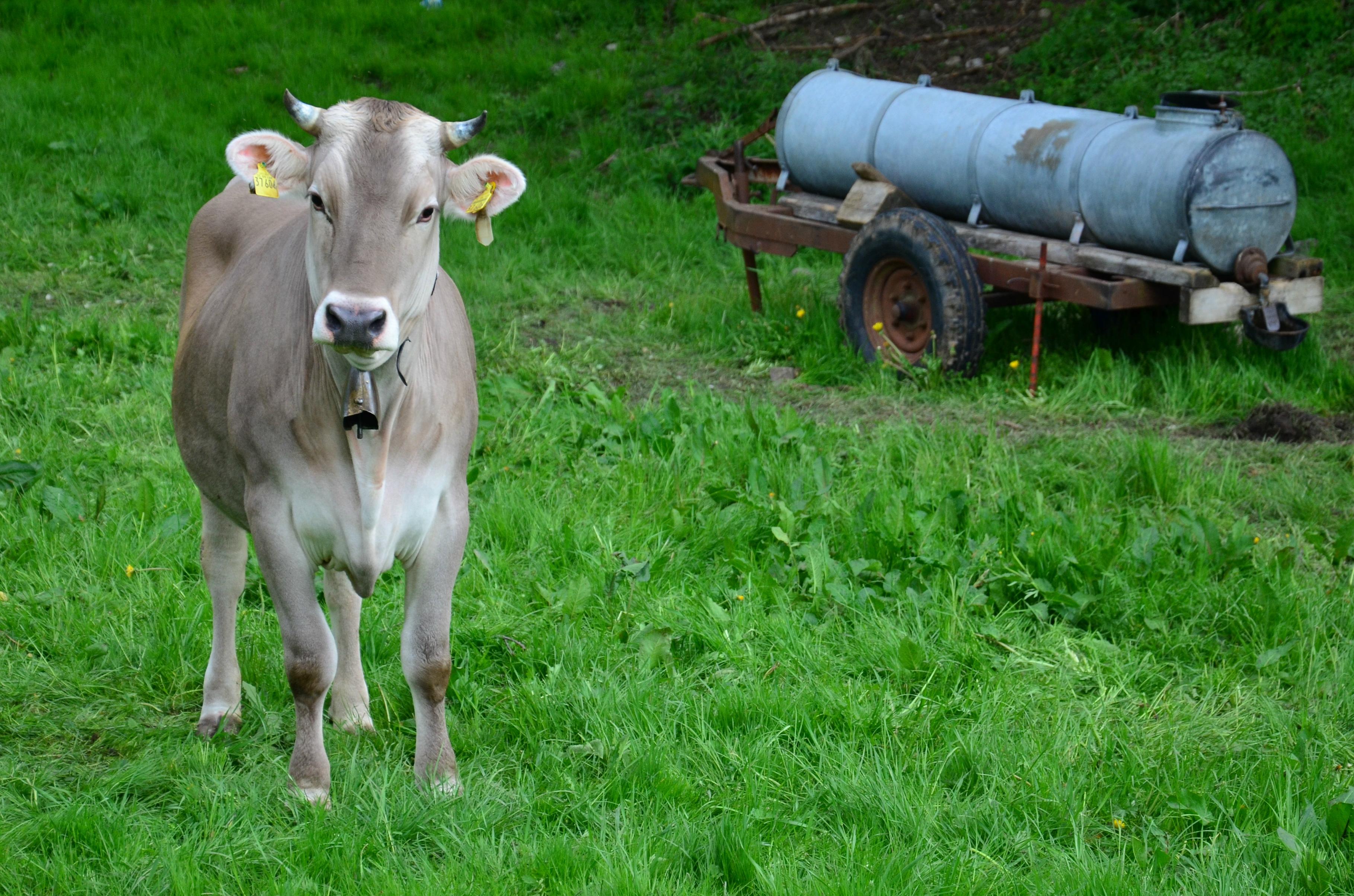 O0048 Berger Kuh mit Wasserfass