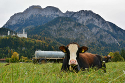 H0158 Pause auf der Kuhweide beim Schloss Neuschwanstein.jpg
