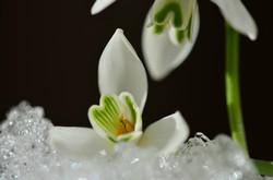 M0069 Schneeglöckchen Eiskristalle