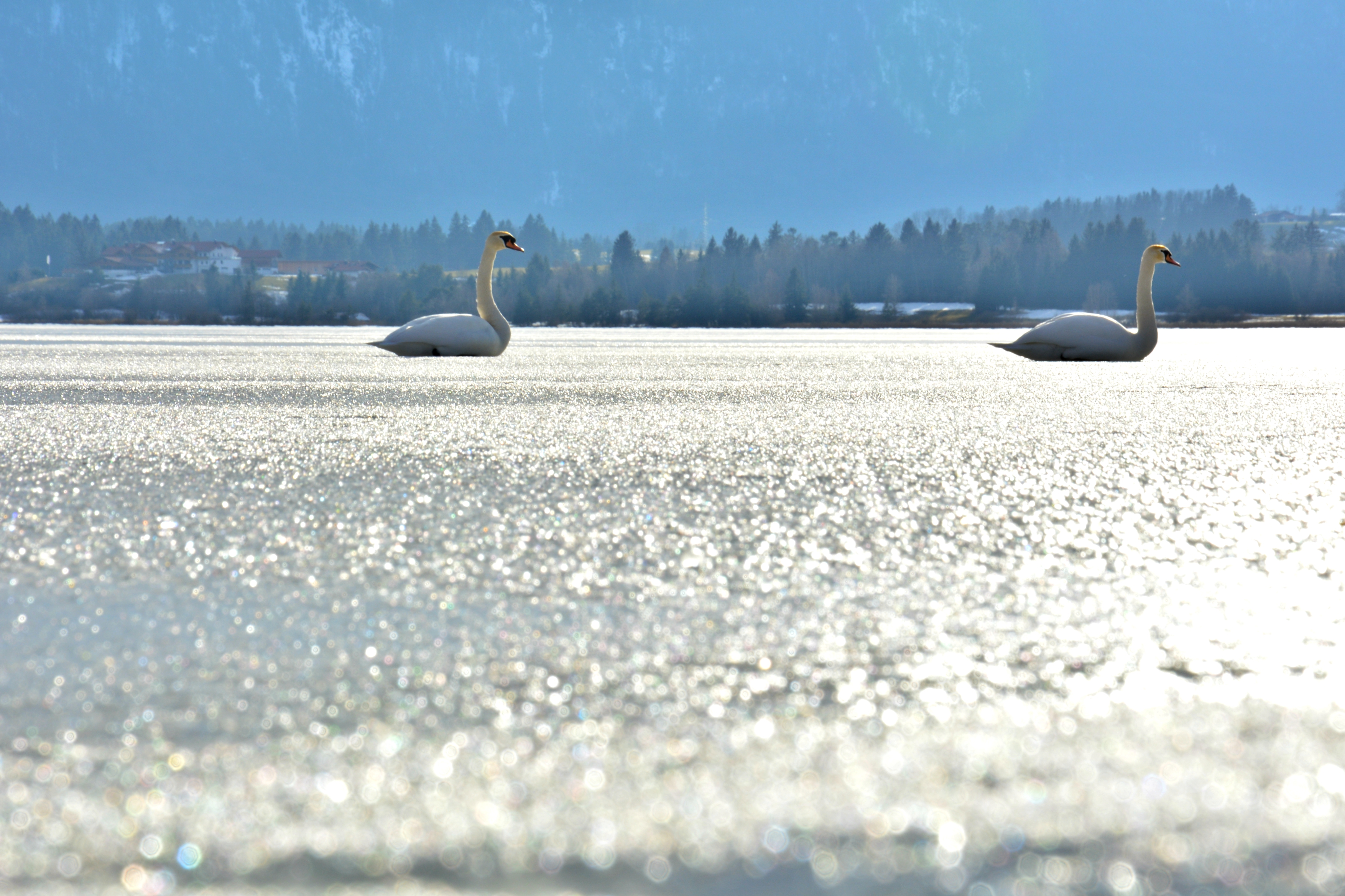 G0361 Schwanenpaar auf dem Eis Hopfensee.jpg