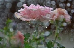 M0093 Rosen im Regen.jpg