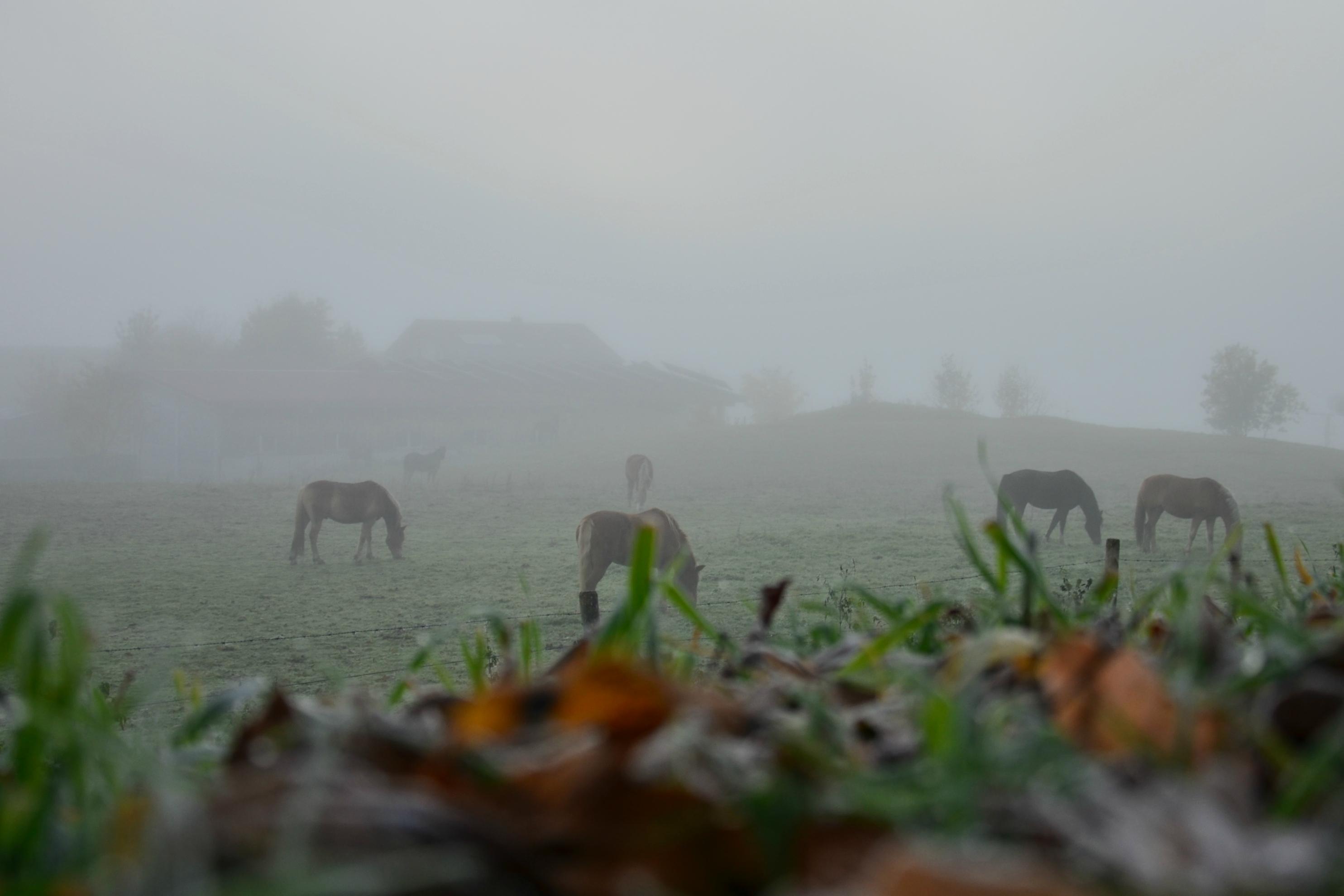 H0120 Pferdekoppel im Morgennebel.jpg