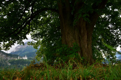 B0058 Alter Baum unter Schloss Neuschwanstein.jpg