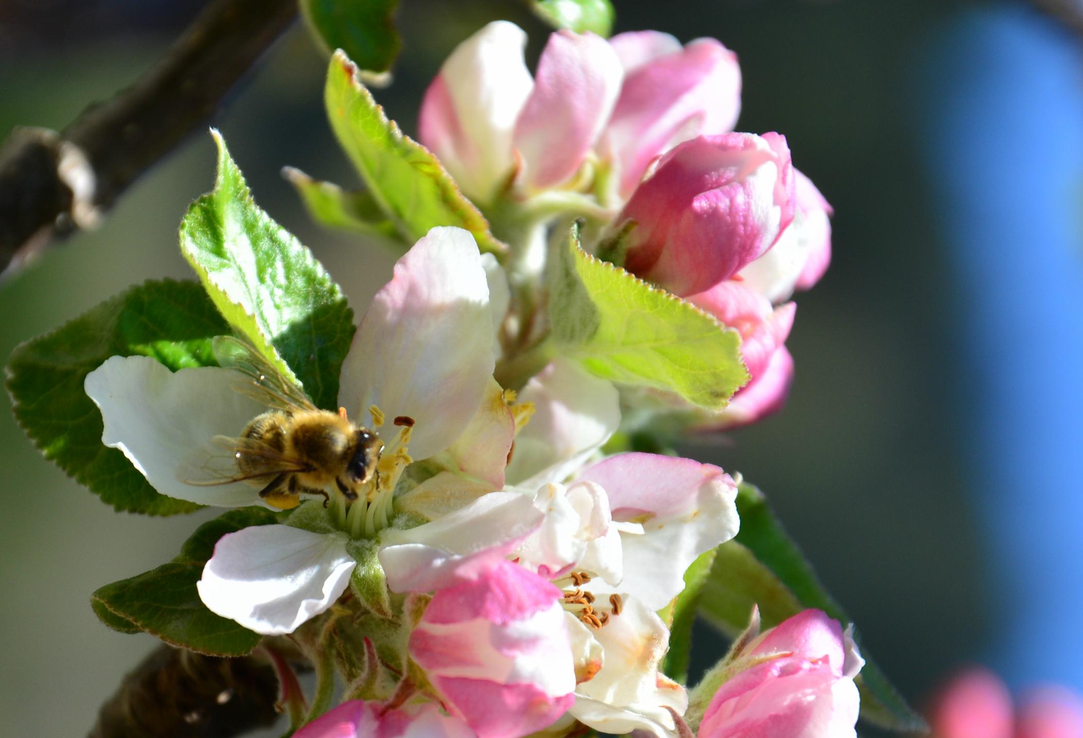 F0097_Biene_auf_Apfelblüte.jpg