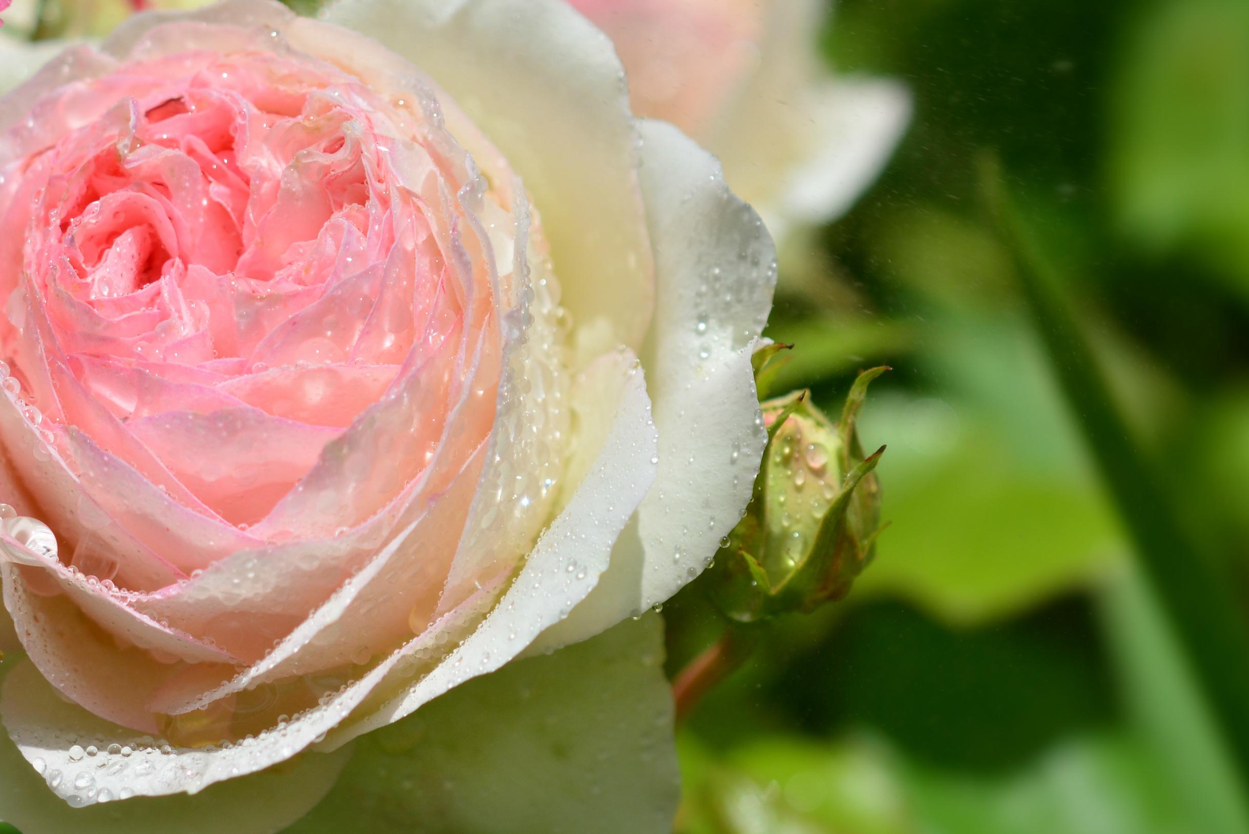 M0090 Rosen im Sommerregen