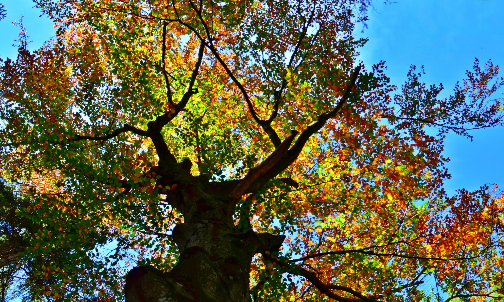 H0055 Herbstbaum