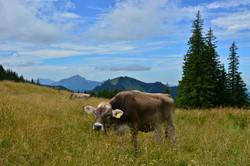 A0221 Schumpen bei der Alpspitz Nesselwang.jpg