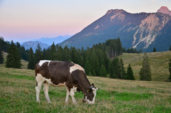 A0068_Abendstimmung_auf_der_Viehweide_Alpe_Bärenmoos_Pfronten.jpg