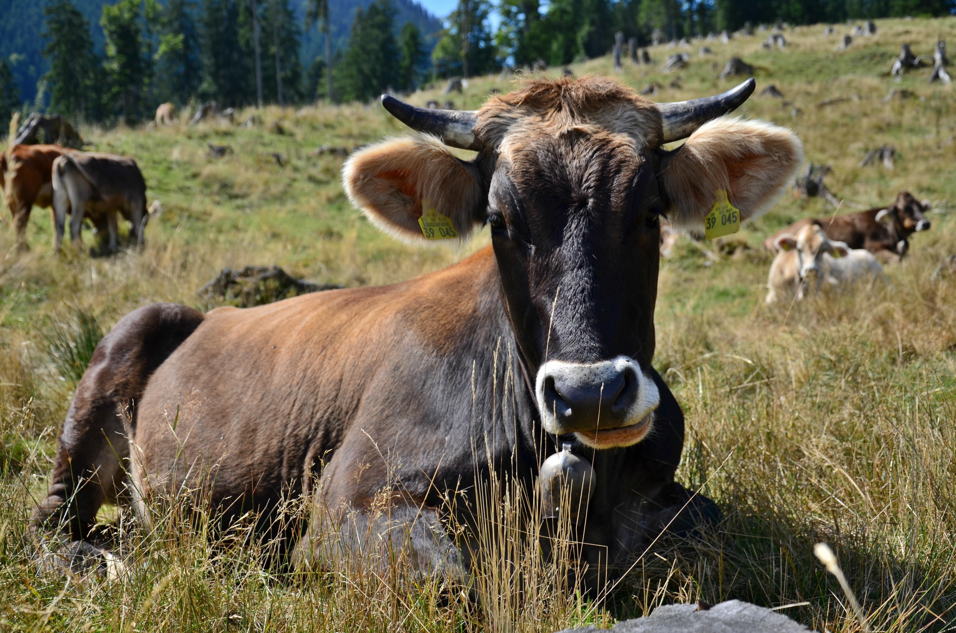 A0112_Gemütliche_Kuh_auf_der_Alpe.jpg