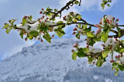 F0096_Apfelblüte_im_Schnee.jpg