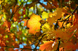 H0075 Farben des Herbstes Laub.jpg