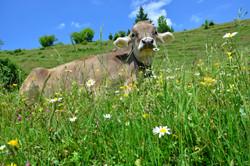 T0031 Kuh im Gras.jpg