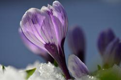 M0033 Frühlingskrokus im Schnee