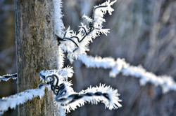 W0320  Frostkristalle Stacheldraht.jpg