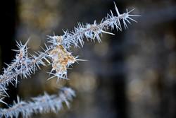 W0238 Frostblume im Winterwald am Falkenstein.jpg